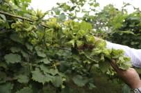 KOZALAK - Fındıkta 'İyi Tarım' Yapan Üretici Arttı