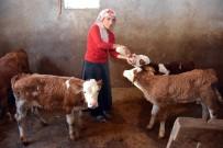 SERINOVA - Satın Aldığı Sütle Yavru Danaları Biberonla Besliyor