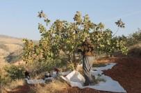 GENÇ KIZLAR - Siirt fıstığında yılın ilk hasadı başladı