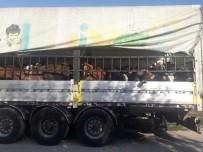 Çavdarhisar'da Genç Çiftçilere Hayvanları Teslim Edildi