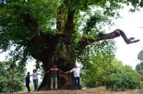 ORMANA - 1000 yıllık kestane ağacı turistlerin ilgisini çekiyor