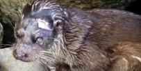 Nesli Tükenme Tehlikesi Yaşayan Hayvanı Yaralı Buldular
