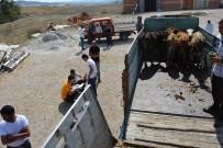 Seyitgazi'de 25 Büyükbaş Hayvan Dağıtıldı