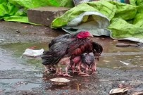 Yavrularını yağmurdan koruyan tavuk fenomen oldu