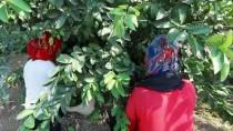 BELARUS - Çukurova'da Limon Verimi Çiftçiyi Mutlu Etti