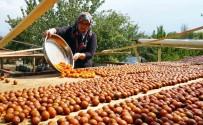DOĞA FOTOĞRAFÇISI - (Özel) Osmanlı Mutfağının Vazgeçilmez Meyvesi Üryani Eriğinin Hasadı Başladı