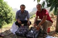 TROPİKAL MEYVE - Alanya'da Mango Hasadı Başladı