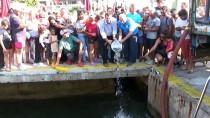 BALIK AVI - Bodrum'da 35 Bin Levrek Yavrusu Denize Bırakıldı
