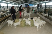 İSVIÇRE - Kravattan Sıkıldı, Keçi Çiftliği Kurdu