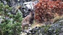Yabani Dağ Keçileri, Bırakılan Yemleri Yemeye Gelince Görüntülendi