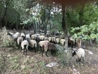 (ÖZEL) İstanbul'da Yöneticiliği Bıraktı, Sakarya'da Koyun Yetiştiriyor