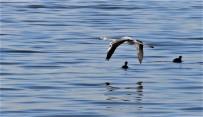 ARITMA TESİSİ - Kocaeli Körfezi Göçmen Kuşların Yeni Cenneti Haline Geldi