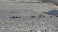(Özel) Kars'ta Aç Kalan Domuz Sürüsü Köye İndi