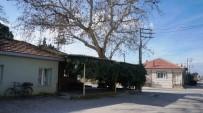 ÇINAR AĞACI - Sarıgöl'de Asırlık Çınar Ağacı Korunuyor