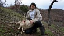 Manisa'da Sürüye Saldıran Kurtlar 11 Hayvanı Telef Etti