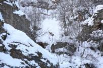 Çetin Geçen Kış, Koruma Altındaki Dağ Keçilerini De Etkiliyor