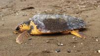Çanakkale'de Sahile Ölü Caretta Caretta Vurdu