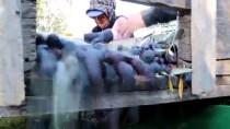 ZEYTİN AĞACI - Mut Zeytinyağı Avrupa'da Da Tescile Hazırlanıyor