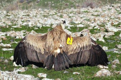 Kızıl Akbaba Tedavisi Sonrası Doğaya Bırakıldı