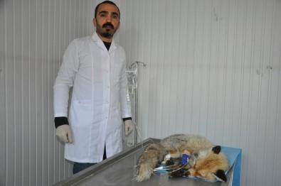 Şehir Merkezine İnen Tilki, Köpeklerin Saldırısına Uğradı