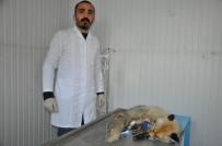 ESENTEPE - Şehir Merkezine İnen Tilki, Köpeklerin Saldırısına Uğradı