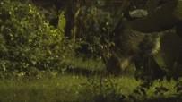 ORMANA - Marmaris'te Domuzlar Evcilleşiyor
