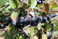 KİLO KONTROLÜ - 'Aronia' Meyvesi Keşfedilmeye Devam Ediyor