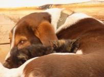 AHMET YıLMAZ - Kedi İle Köpeğin Dostluğu