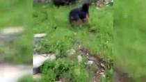 Bodrum'da İki Domuz İlçe Merkezine İndi