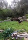 BODRUM BELEDİYESİ - Köpeğin Domuzlarla Mücadelesi Kameralara Yansıdı