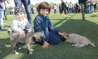 Kangal Köpekleri Güzellikleri İle Kıyasıya Yarıştı