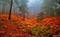 KAZDAĞLARI - (Özel) Kazdağları'nın Kestane Ormanları Sonbahar Renkleriyle Büyük İlgi Çekiyor