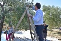 Başkan Dutlulu, Çiftçilerle Birlikte Zeytin Topladı