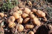 Yozgat'ta Yerli Patates Hasadı Yapıldı