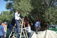 MURAT BÜYÜKKÖSE - Bin 657 Yaşındaki Ağaçtan Zeytin Hasadı