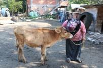 BÜYÜKBAŞ HAYVANLAR - Çalınan Büyükbaş Hayvanlarına Kavuşan Vatandaşların Sevinci