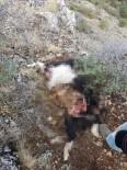 Hava Kararınca Dağda Unutulan 5 Keçi Kurtlar Tarafından Telef Edildi