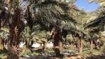 İŞGAL - Filistin'de Palmiye Atığından Kağıt Mendil Üretiliyor
