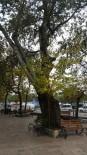 Asırlık Kavak Ağacına Kesim Kararı