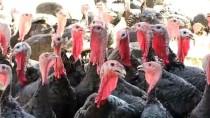 Devlet Desteği İle Hindi Çiftliği Kurdu