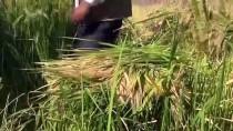 Karacadağ Pirincinin Tarladan Sofraya Yolculuğu
