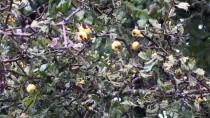 ABANT İZZET BAYSAL ÜNIVERSITESI - Doğal İlaç Dağ Meyvesi Açıklaması 'Alıç'