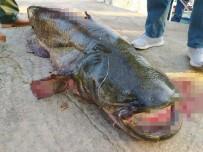 İznik Gölü'nde 65 Kiloluk Dev Yayın Balığı Yakalandı