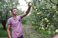 Bursa'nın Dünyaca Ünlü Deveci Armudunun Hasadına Başlandı