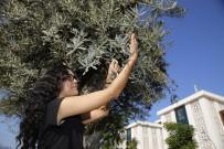 6 Asırlık Anıt Ağaç Koruma Altındaki İlk Meyve Verdi