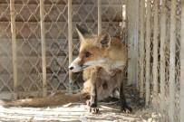 Antalya'da Yaralı Tilki Yavrusu Ve İki Balaban Kuşu Tedavi Edildi