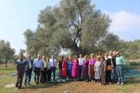 Ata Ağaç 'Gelecek Nesil' İçin Hasat Edildi