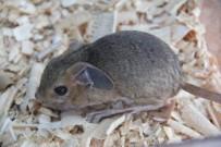 Çorum'da İlk Kez 'Arap Tavşanı' Görüldü