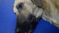 (Özel) Kazada Yaralanan Köpeğin Gözyaşları...Büyükşehir O Gözyaşlarını Dindirdi