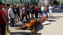İpinden Boşanan At Minibüse Çarpıp Ağır Yaralandı